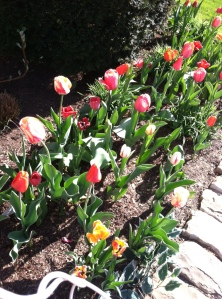 I interrupt discussion of my fears for this picture of tulips. How can tulips not cheer you up?